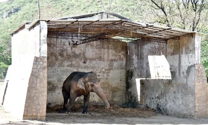 Kaavan in his enclosure at the Islamabad Zoo. Photo by Khurram Amin. Source: DAWN.